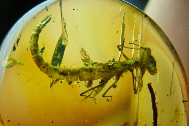 INSECT-IN-AMBER-FROM-MYANMAR.-Photo-by-Federico-Barlocher