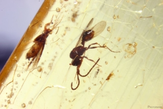 Wasp in Copal from Madagascar