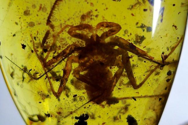 whip-scorpion-in-myanmar-amber.-Photo-by-Federico-Barlocher