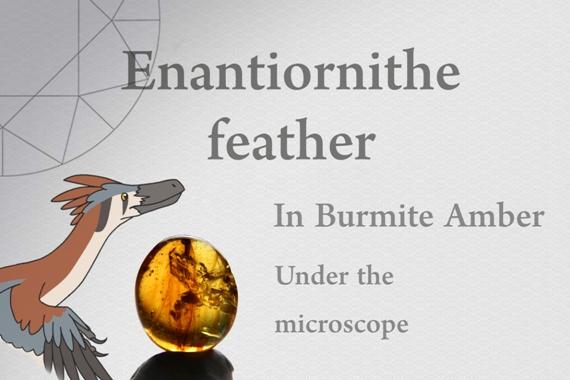 Enantiornithe feather in Burmite Amber - Photo by Francesco Protopapas
