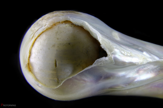 Broken-Baroque-pearl.-Its-possible-to-see-the-round-nucleus-inside.-Photo-by-Protopapas-Francesco