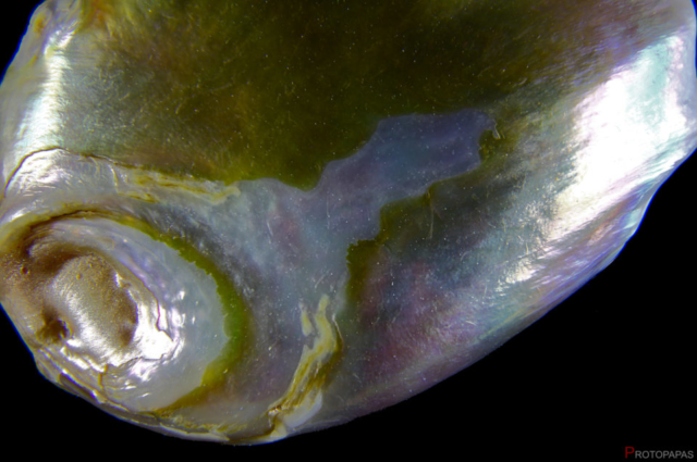 Coin-pearl.-Photo-by-Protopapas-Francesco
