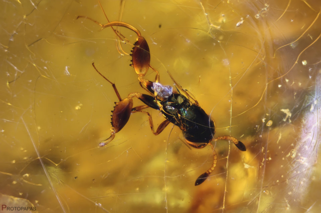Probably incomplete Chalcidid wasp in Copal from Colombia. Photo by Protopapas Francesco