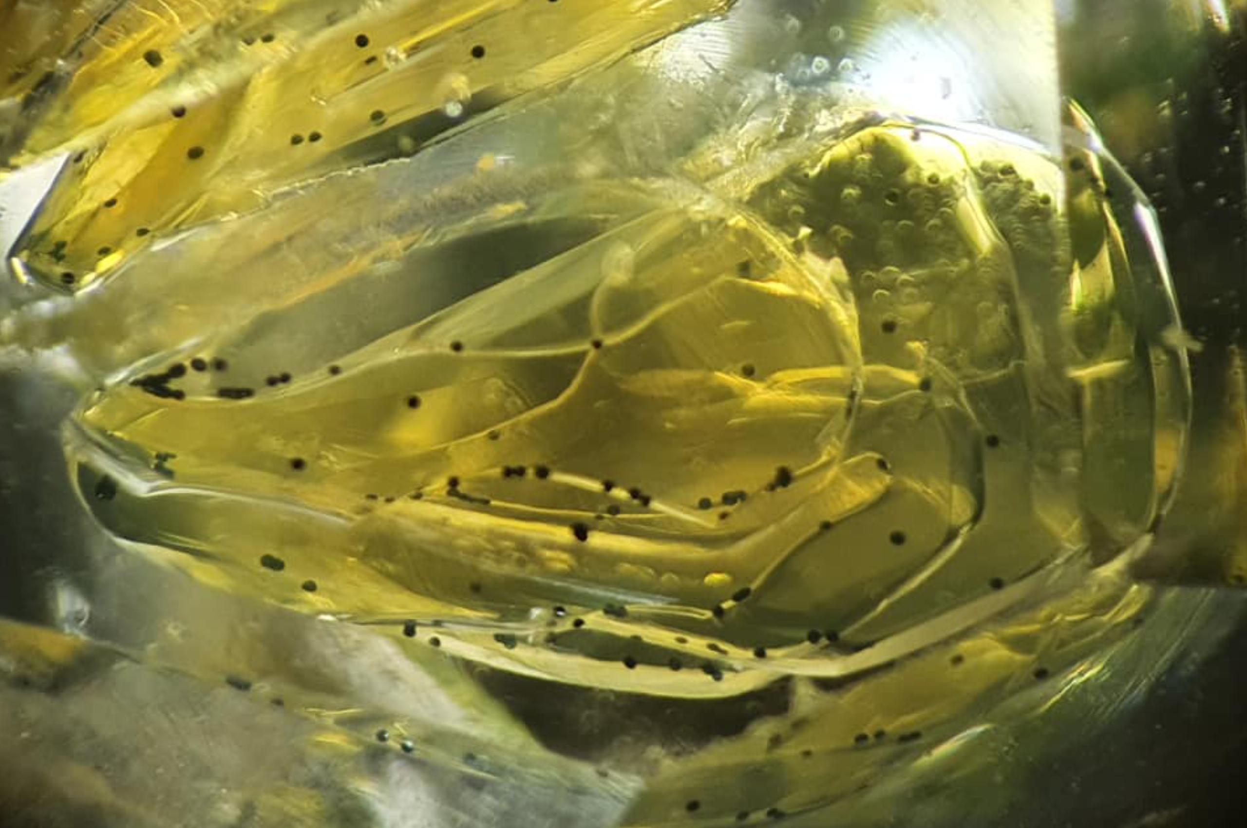 Petroleum and bitumen in Petroluem quartz. Photo by Gérald Deplus